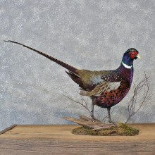 Burgundy Ringneck Pheasant Bird Mount #12115 For Sale @ The Taxidermy Store