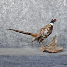 Ringneck Pheasant Bird Mount #11746 For Sale @ The Taxidermy Store