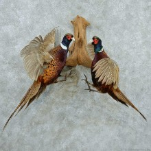 Ringneck Pheasants Life Size Taxidermy Mount #13327 For Sale @ The Taxidermy Store