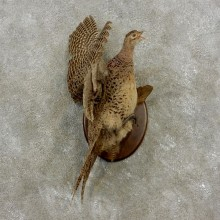 Ringneck Hen Pheasant Bird Mount For Sale #17377 @ The Taxidermy Store