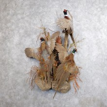 Ringneck Pheasant Bird Mount For Sale #18619 - The Taxidermy Store