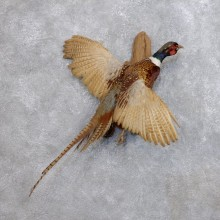 Ringneck Pheasant Bird Mount For Sale #18678 @ The Taxidermy Store