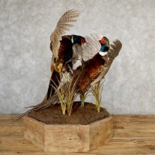 Ringneck Pheasant Bird Mount For Sale #19045 - The Taxidermy Store