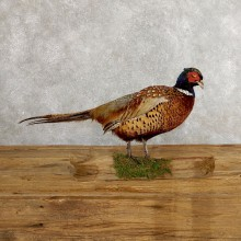 Ringneck Pheasant Bird Mount For Sale #19752 @ The Taxidermy Store