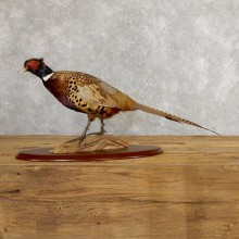 Ringneck Pheasant Bird Mount For Sale #19755 @ The Taxidermy Store