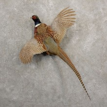 Ringneck Pheasant Bird Mount For Sale #20684 @ The Taxidermy Store