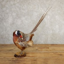 Ringneck Pheasant Bird Mount For Sale #20768 @ The Taxidermy Store