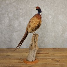 Ringneck Pheasant Bird Mount For Sale #20774 @ The Taxidermy Store