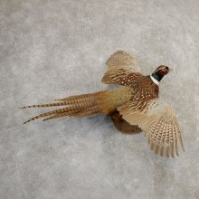 Ringneck Pheasant Bird Mount For Sale #20804 @ The Taxidermy Store