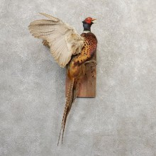 Ringneck Pheasant Bird Mount For Sale #20807 @ The Taxidermy Store