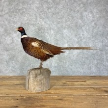 Ringneck Pheasant Bird Mount For Sale #21388 @ The Taxidermy Store