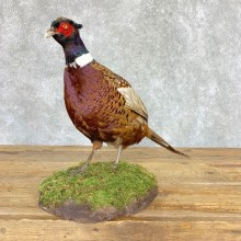 Ringneck Pheasant Bird Mount For Sale #21761 @ The Taxidermy Store