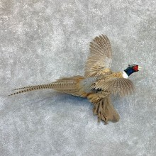 Ringneck Pheasant Bird Mount For Sale #22559 @ The Taxidermy Store