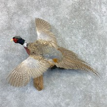 Ringneck Pheasant Bird Mount For Sale #22560 @ The Taxidermy Store