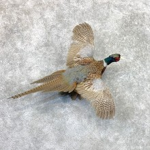 Ringneck Pheasant Bird Mount For Sale #22561 @ The Taxidermy Store