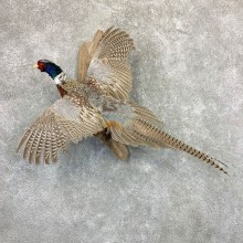Ringneck Pheasant Bird Mount For Sale #22993 @ The Taxidermy Store