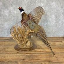 Ringneck Pheasant Bird Mount For Sale #22996 @ The Taxidermy Store