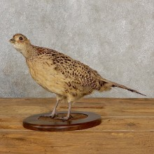 Ringneck Pheasant Hen Bird Mount For Sale #19047 @ The Taxidermy Store