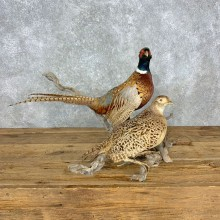 Ringneck Pheasant Pair Bird Mount For Sale #23306 @ The Taxidermy Store