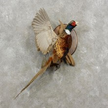 Ringneck Pheasant Bird Mount For Sale #17376 @ The Taxidermy Store