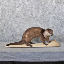 Standing River Otter Mount #11776 For Sale @ The Taxidermy Store