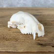 River Otter Skull Mount For Sale #22256 @ The Taxidermy Store