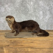 River Otter Life-Size Taxidermy Mount For Sale