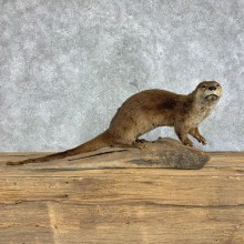 River Otter Taxidermy Mount #21426 For Sale @ The Taxidermy Store