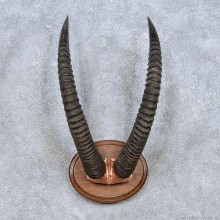 African Roan Taxidermy Horn Mount For Sale #13986 @ The Taxidermy Store