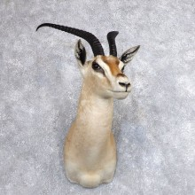 Roberts Gazelle Taxidermy Mount For Sale