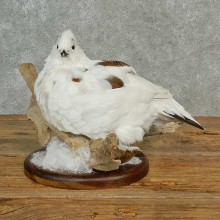 Rock Ptarmigan Bird Mount For Sale #16991 @ The Taxidermy Store
