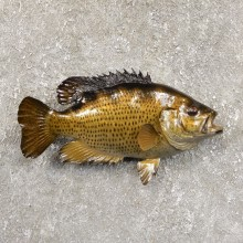 Rock Bass Fish Mount For Sale #19709 @ The Taxidermy Store