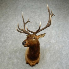 Rocky Mountain Elk Shoulder Mount For Sale #16752 @ The Taxidermy Store