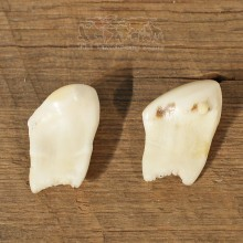 Rocky Mountain Elk Ivory Teeth #12272 For Sale @ The Taxidermy Store