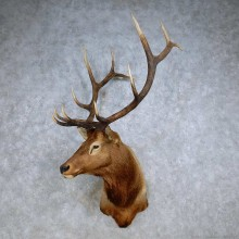 Rocky Mountain Elk Shoulder Mount For Sale #14237 @ The Taxidermy Store