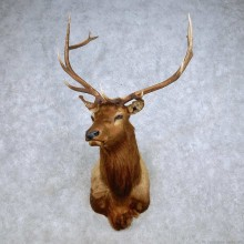 Rocky Mountain Elk Shoulder Mount For Sale #14238 @ The Taxidermy Store