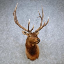 Rocky Mountain Elk Shoulder Mount For Sale #14323 @ The Taxidermy Store