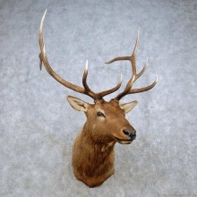 Rocky Mountain Elk Shoulder Mount For Sale #14326 @ The Taxidermy Store
