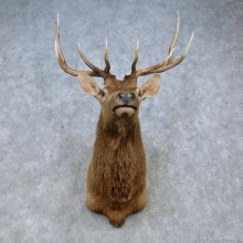 Rocky Mountain Elk Shoulder Mount For Sale #15061 @ The Taxidermy Store