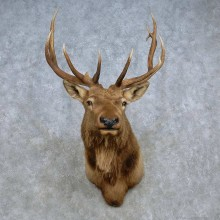 Rocky Mountain Elk Shoulder Mount For Sale #15102 @ The Taxidermy Store