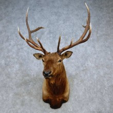 Rocky Mountain Elk Shoulder Mount For Sale #15103 @ The Taxidermy Store