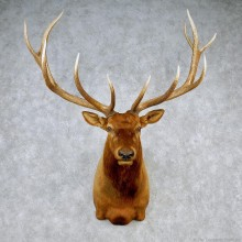 Rocky Mountain Elk Shoulder Taxidermy Head Mount #12606 For Sale @ The Taxidermy Store