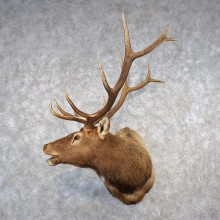 Rocky Mountain Elk Shoulder Taxidermy Mount For Sale