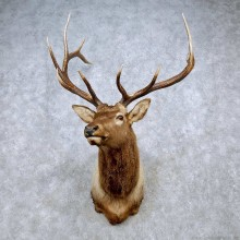Rocky Mountain Elk Shoulder Mount For Sale #14440 @ The Taxidermy Store
