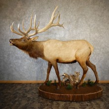Rocky Mountain Elk Life-Size Mount For Sale #19327 @ The Taxidermy Store