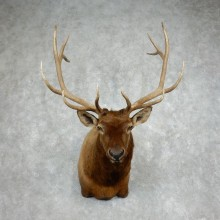 Rocky Mountain Elk Shoulder Mount For Sale #17985 @ The Taxidermy Store