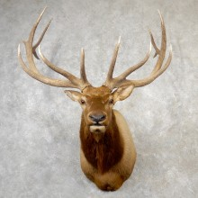 Rocky Mountain Elk Shoulder Mount For Sale #19164 @ The Taxidermy Store