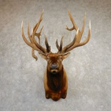 Rocky Mountain Elk Shoulder Mount For Sale #20375 @ The Taxidermy Store