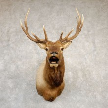 Rocky Mountain Elk Shoulder Mount For Sale #20690 @ The Taxidermy Store