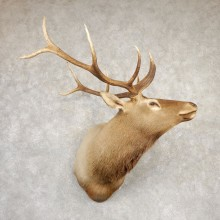 Rocky Mountain Elk Shoulder Mount For Sale #20692 @ The Taxidermy Store